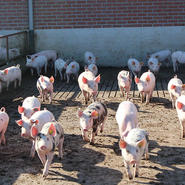 The research program on ending castration of male pigs by